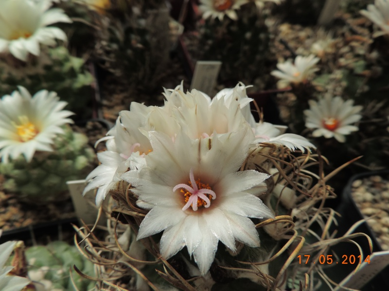 Cacti and Sukkulent in Köln, every day new flowers in the greenhouse Part 95 Bild_718