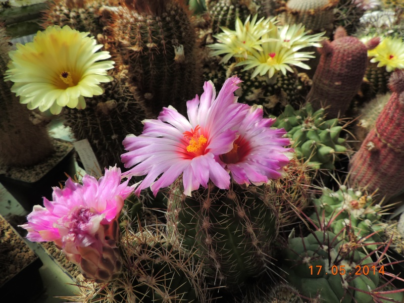 Cacti and Sukkulent in Köln, every day new flowers in the greenhouse Part 95 Bild_720