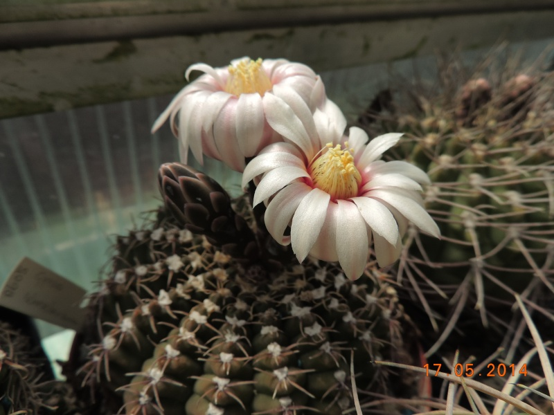 Cacti and Sukkulent in Köln, every day new flowers in the greenhouse Part 95 Bild_721