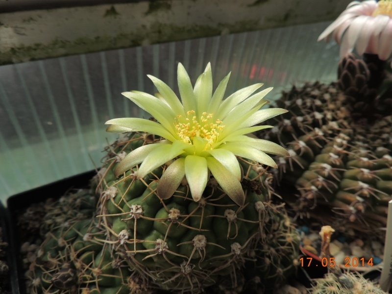 Cacti and Sukkulent in Köln, every day new flowers in the greenhouse Part 95 Bild_722