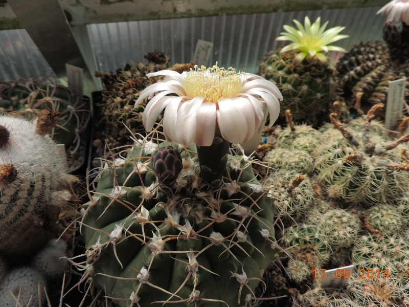 Cacti and Sukkulent in Köln, every day new flowers in the greenhouse Part 95 Bild_723