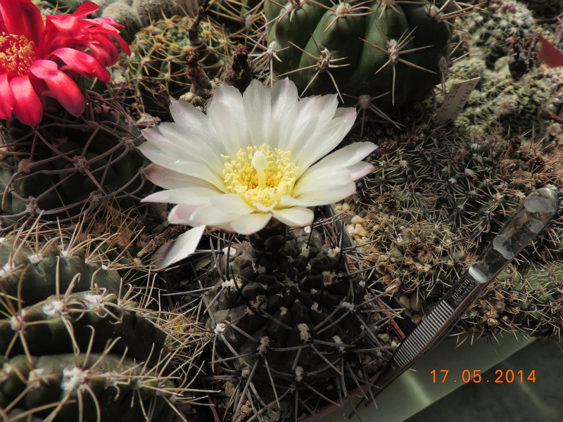 Cacti and Sukkulent in Köln, every day new flowers in the greenhouse Part 95 Bild_725