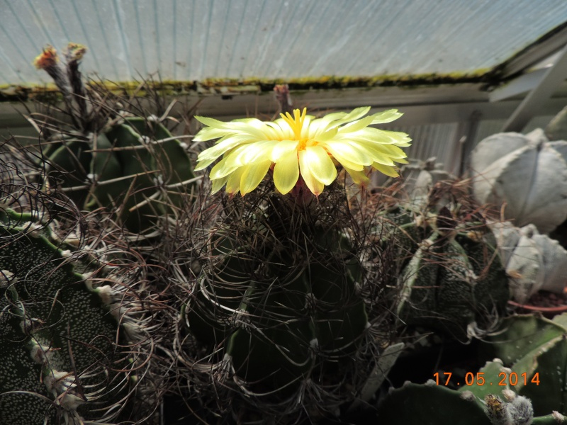 Cacti and Sukkulent in Köln, every day new flowers in the greenhouse Part 95 Bild_732