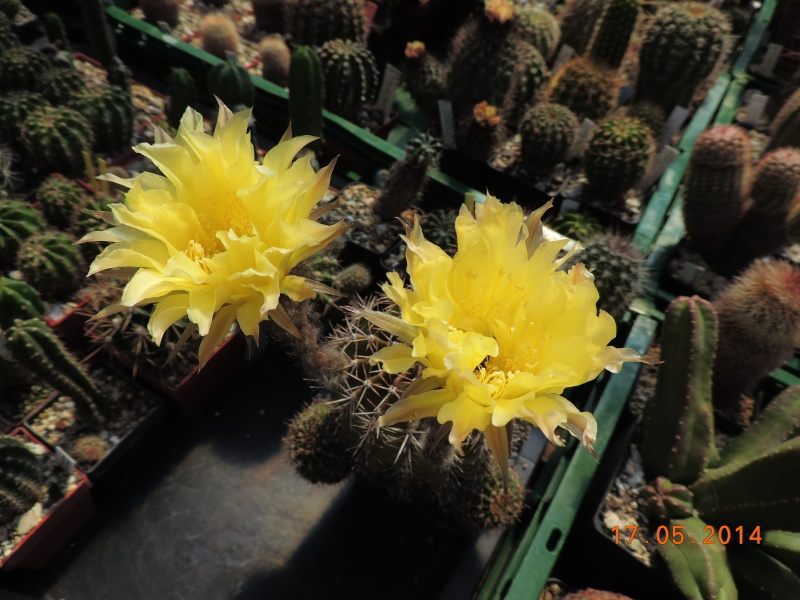 Cacti and Sukkulent in Köln, every day new flowers in the greenhouse Part 95 Bild_736