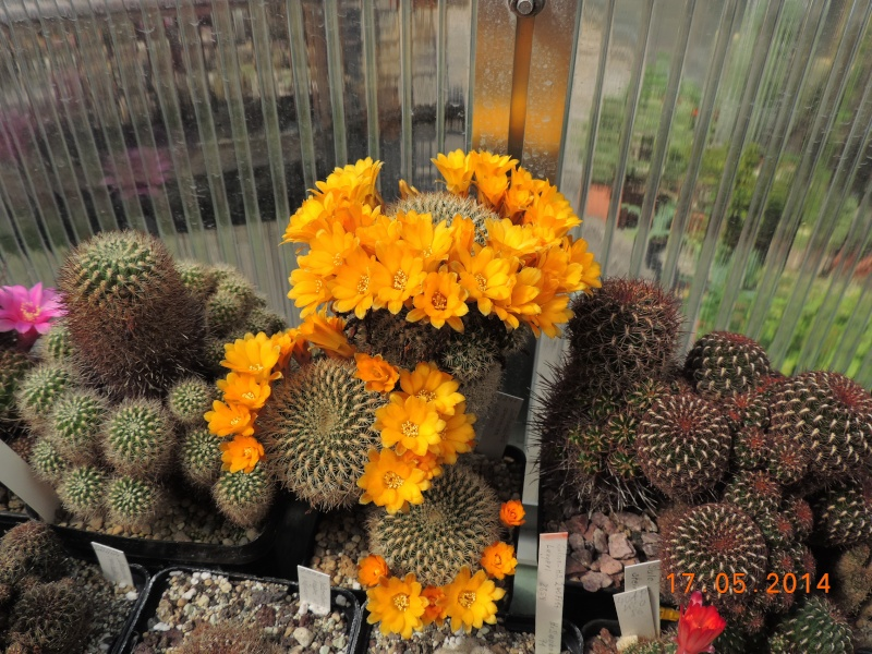 Cacti and Sukkulent in Köln, every day new flowers in the greenhouse Part 95 Bild_743