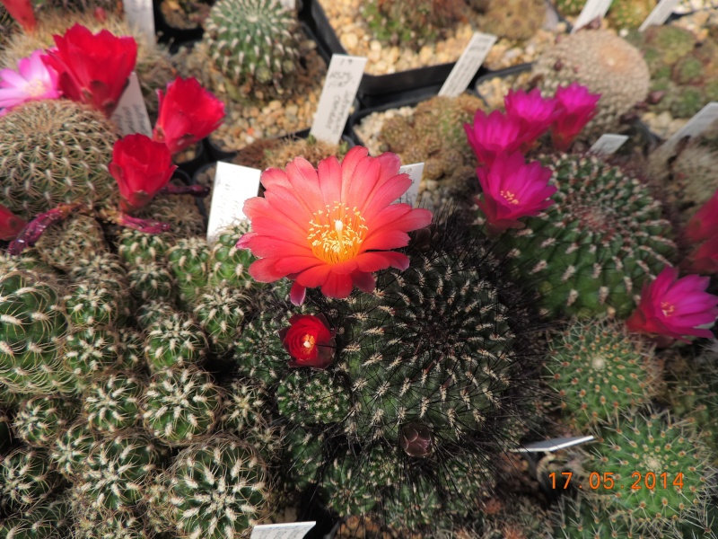 Cacti and Sukkulent in Köln, every day new flowers in the greenhouse Part 95 Bild_745