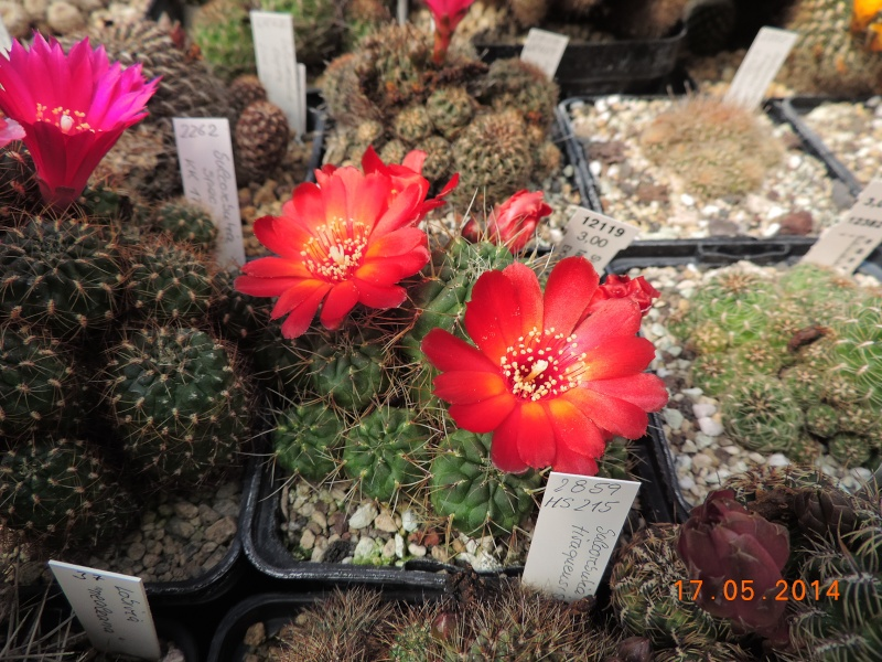 Cacti and Sukkulent in Köln, every day new flowers in the greenhouse Part 95 Bild_746