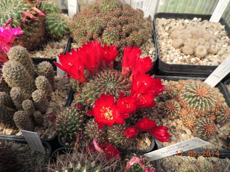 Cacti and Sukkulent in Köln, every day new flowers in the greenhouse Part 95 Bild_747