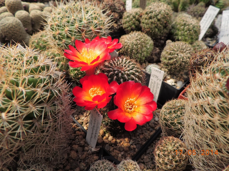 Cacti and Sukkulent in Köln, every day new flowers in the greenhouse Part 95 Bild_748