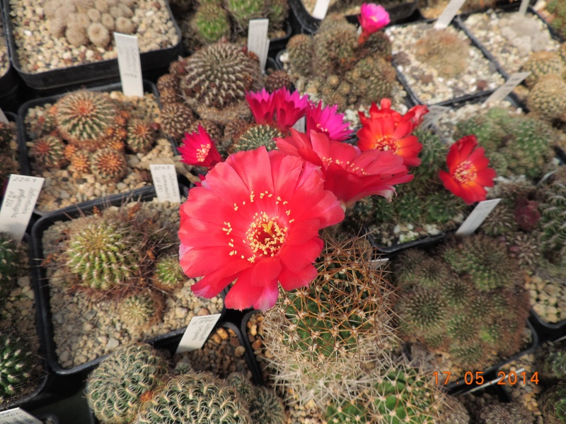 Cacti and Sukkulent in Köln, every day new flowers in the greenhouse Part 95 Bild_751