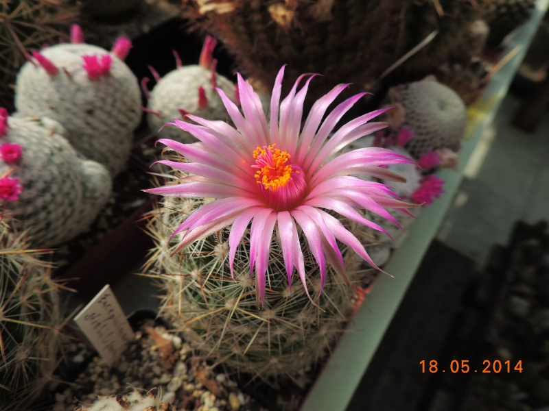 Cacti and Sukkulent in Köln, every day new flowers in the greenhouse Part 95 Bild_753