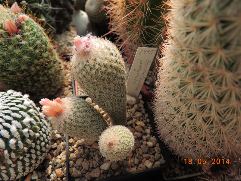Cacti and Sukkulent in Köln, every day new flowers in the greenhouse Part 95 Bild_758