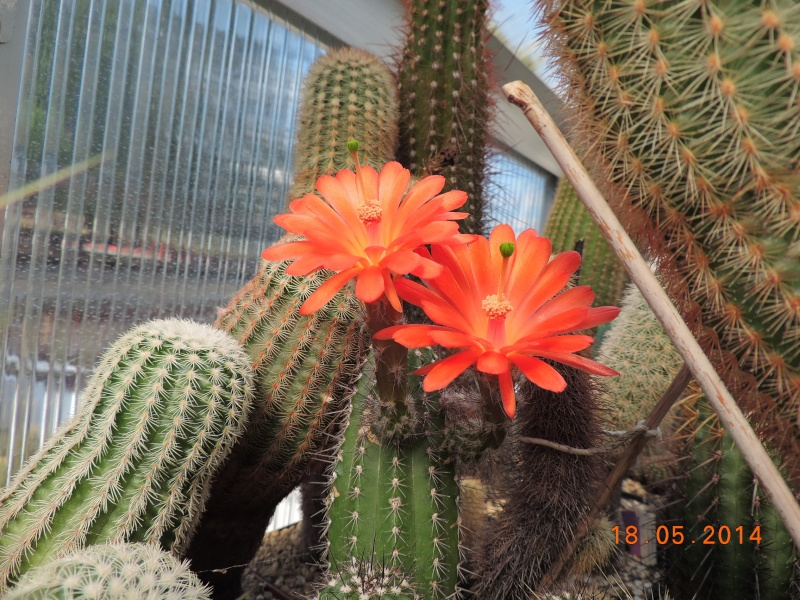 Cacti and Sukkulent in Köln, every day new flowers in the greenhouse Part 95 Bild_759