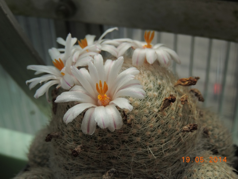 Cacti and Sukkulent in Köln, every day new flowers in the greenhouse Part 95 Bild_769
