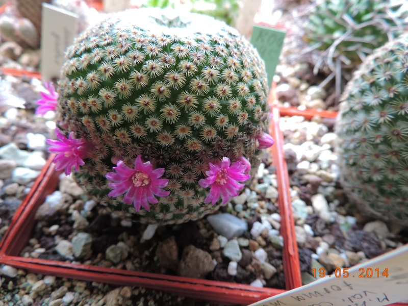 Cacti and Sukkulent in Köln, every day new flowers in the greenhouse Part 95 Bild_773