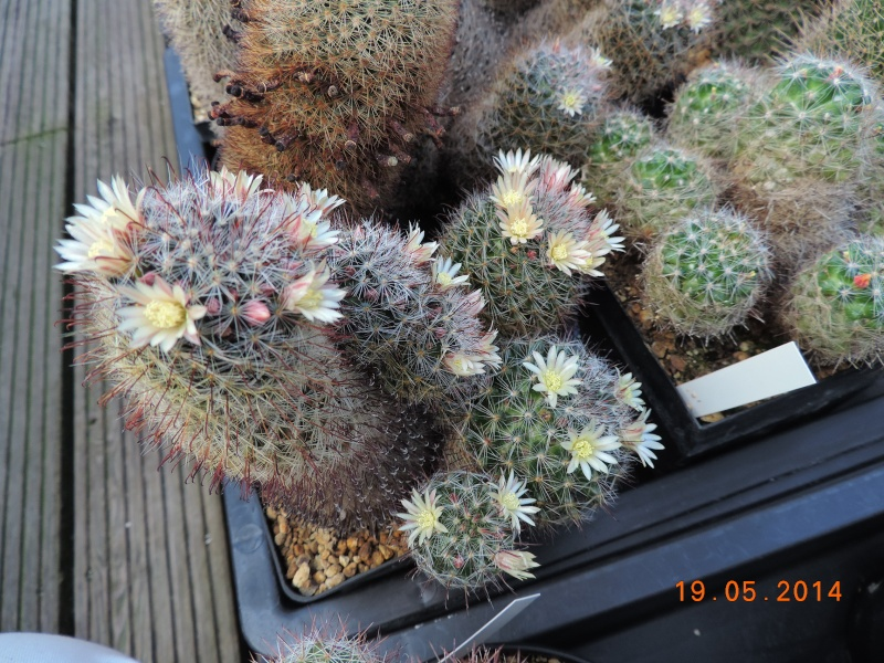 Cacti and Sukkulent in Köln, every day new flowers in the greenhouse Part 95 Bild_774