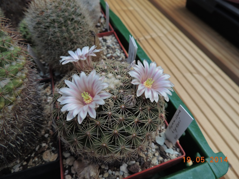 Cacti and Sukkulent in Köln, every day new flowers in the greenhouse Part 95 Bild_775
