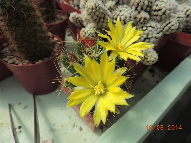 Cacti and Sukkulent in Köln, every day new flowers in the greenhouse Part 95 Bild_778