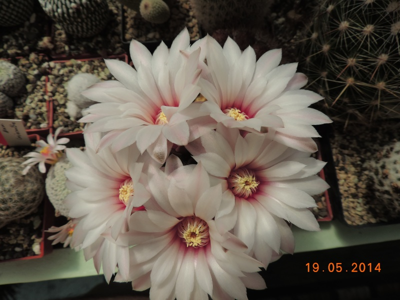 Cacti and Sukkulent in Köln, every day new flowers in the greenhouse Part 95 Bild_779