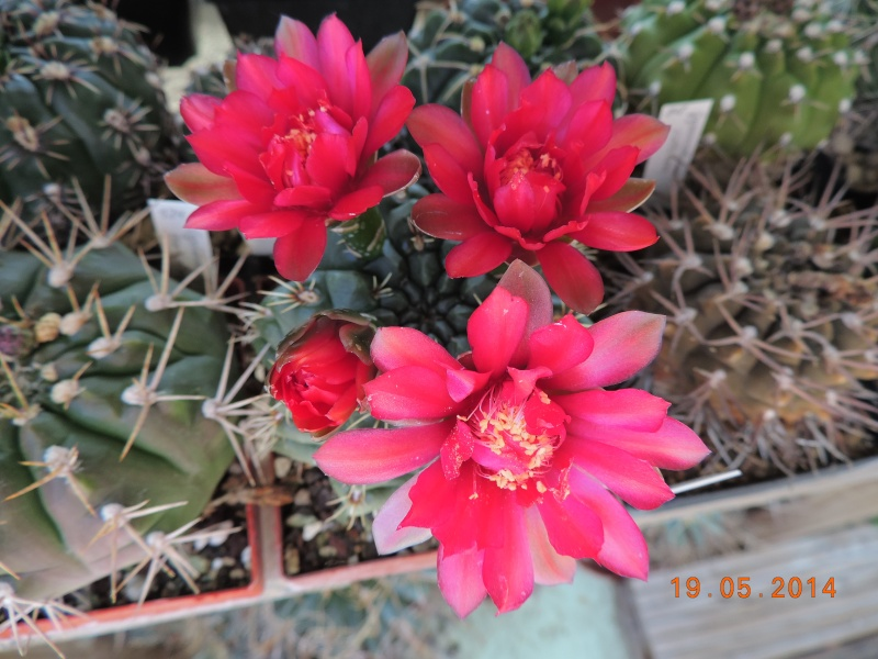 Cacti and Sukkulent in Köln, every day new flowers in the greenhouse Part 95 Bild_782