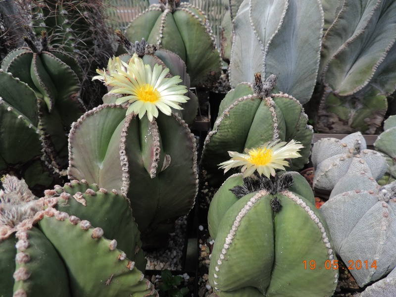 Cacti and Sukkulent in Köln, every day new flowers in the greenhouse Part 95 Bild_785