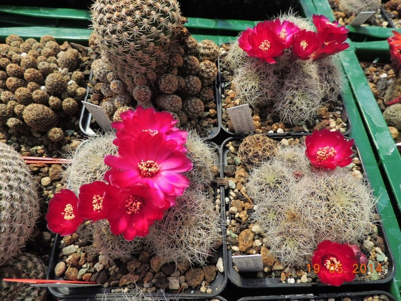 Cacti and Sukkulent in Köln, every day new flowers in the greenhouse Part 95 Bild_787