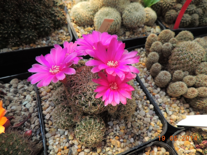 Cacti and Sukkulent in Köln, every day new flowers in the greenhouse Part 95 Bild_788