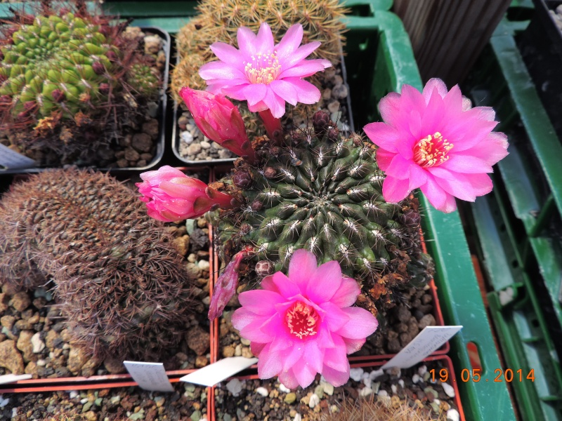 Cacti and Sukkulent in Köln, every day new flowers in the greenhouse Part 95 Bild_789