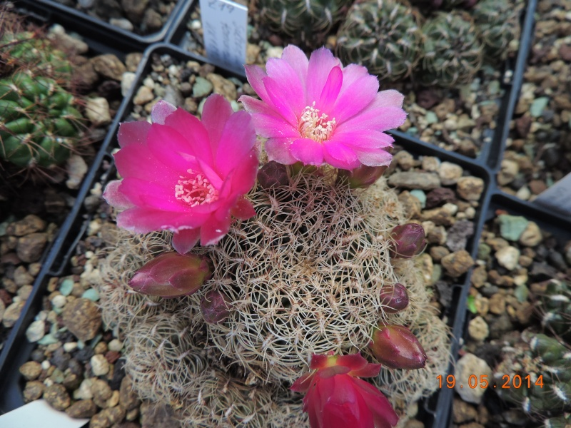Cacti and Sukkulent in Köln, every day new flowers in the greenhouse Part 95 Bild_791