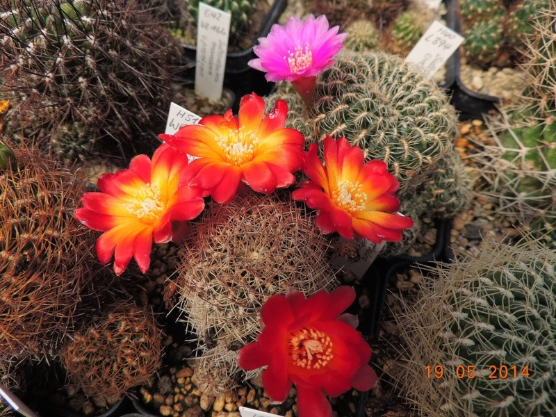 Cacti and Sukkulent in Köln, every day new flowers in the greenhouse Part 95 Bild_792