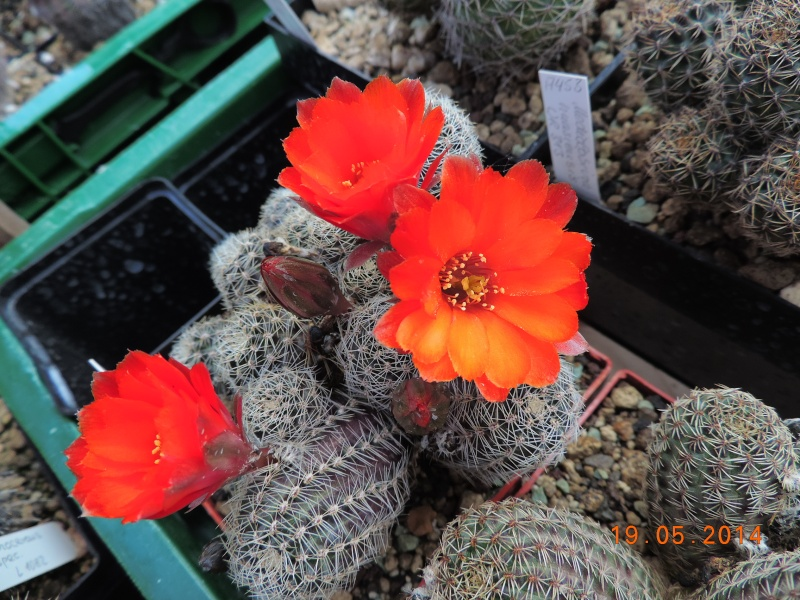 Cacti and Sukkulent in Köln, every day new flowers in the greenhouse Part 95 Bild_795