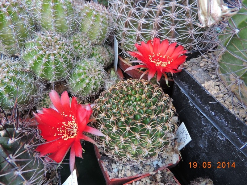 Cacti and Sukkulent in Köln, every day new flowers in the greenhouse Part 95 Bild_796
