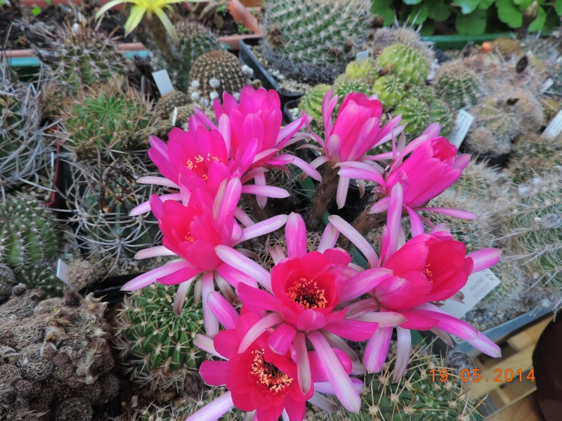 Cacti and Sukkulent in Köln, every day new flowers in the greenhouse Part 95 Bild_797