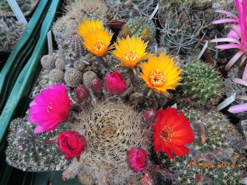 Cacti and Sukkulent in Köln, every day new flowers in the greenhouse Part 95 Bild_799