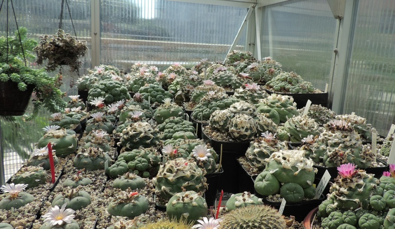 Cacti and Sukkulent in Köln, every day new flowers in the greenhouse Part 101 Bild_800