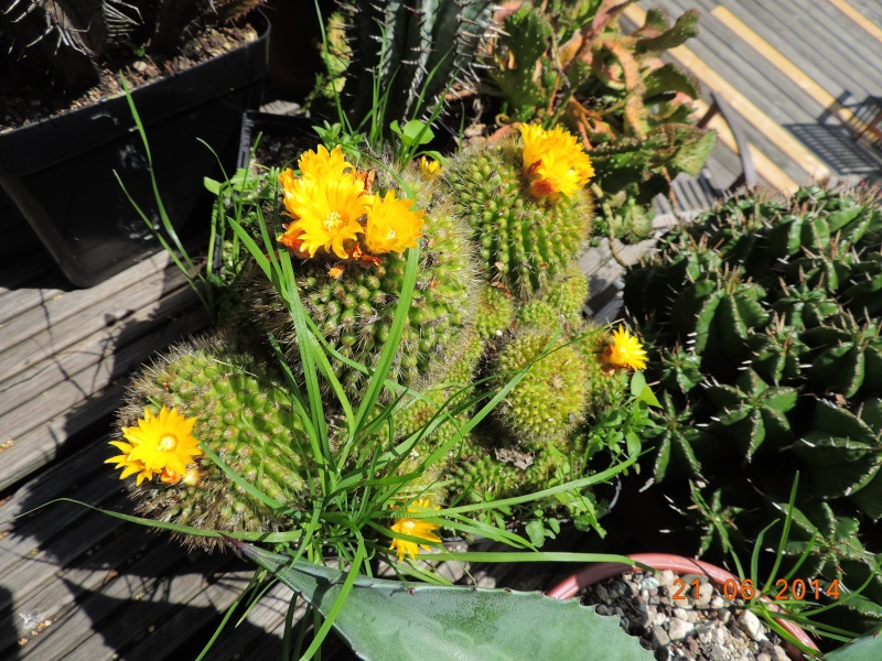 Cacti and Sukkulent in Köln, every day new flowers in the greenhouse Part 101 Bild_803