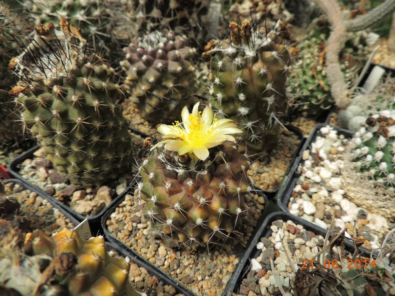 Cacti and Sukkulent in Köln, every day new flowers in the greenhouse Part 101 Bild_806