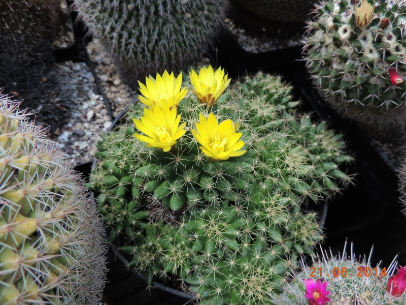 Cacti and Sukkulent in Köln, every day new flowers in the greenhouse Part 101 Bild_807