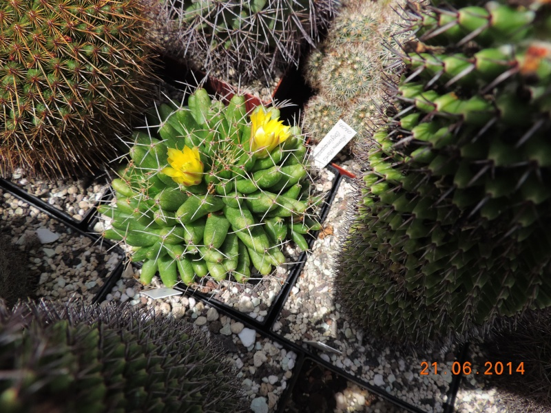 Cacti and Sukkulent in Köln, every day new flowers in the greenhouse Part 101 Bild_808