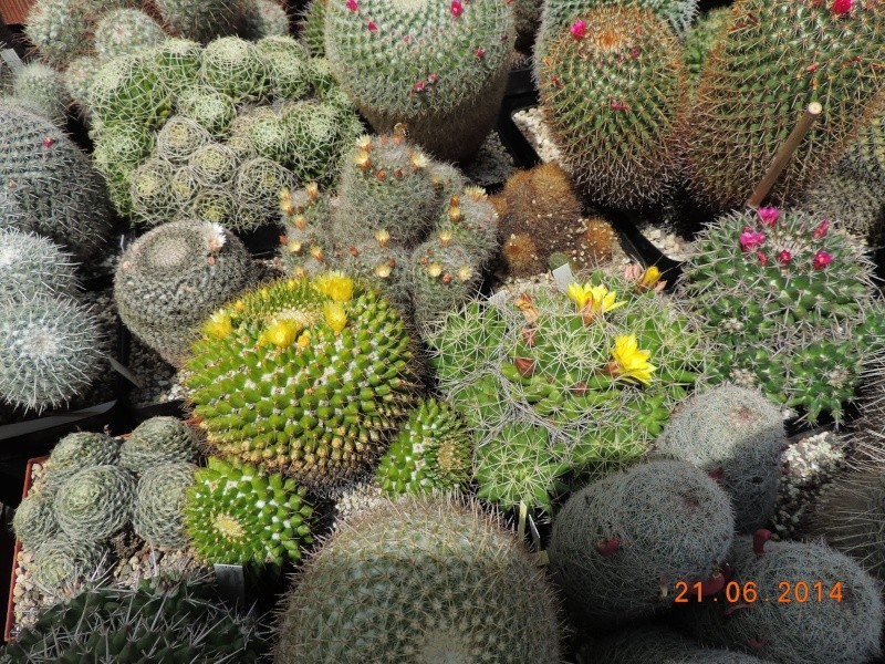 Cacti and Sukkulent in Köln, every day new flowers in the greenhouse Part 101 Bild_810