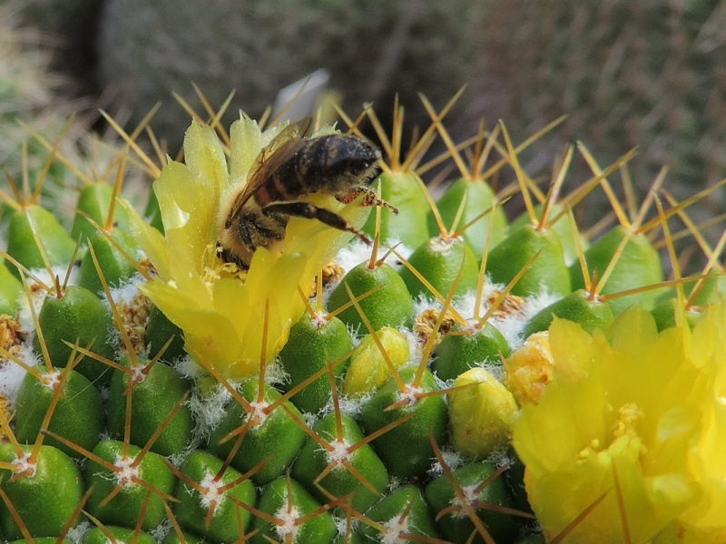 Cacti and Sukkulent in Köln, every day new flowers in the greenhouse Part 101 Bild_812