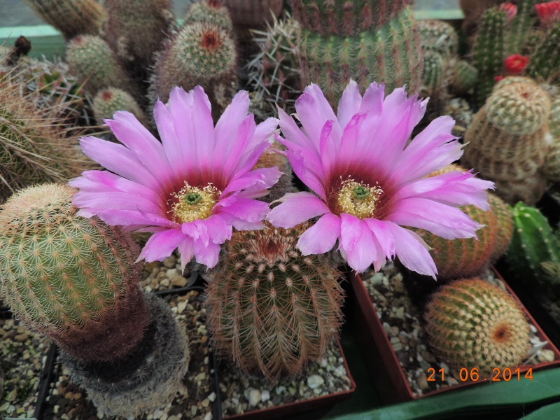 Cacti and Sukkulent in Köln, every day new flowers in the greenhouse Part 101 Bild_816