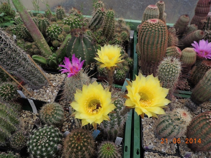 Cacti and Sukkulent in Köln, every day new flowers in the greenhouse Part 101 Bild_817
