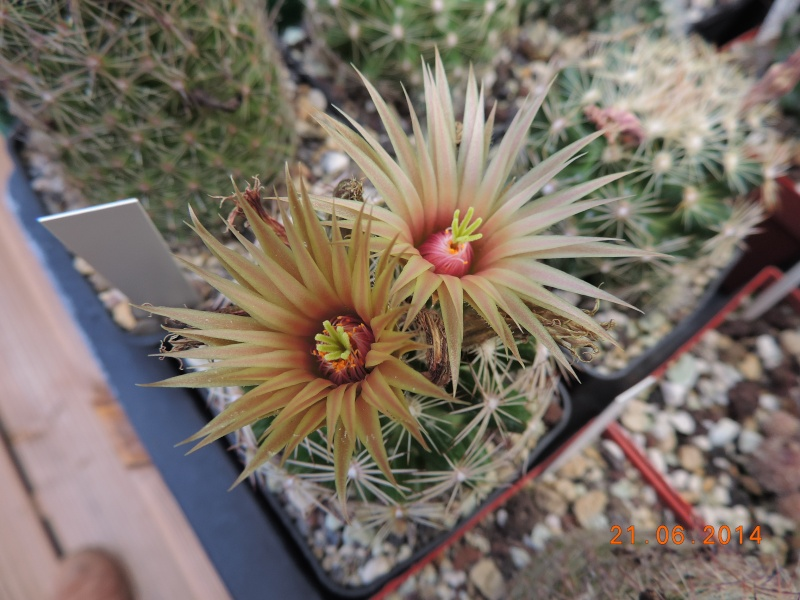 Cacti and Sukkulent in Köln, every day new flowers in the greenhouse Part 101 Bild_819