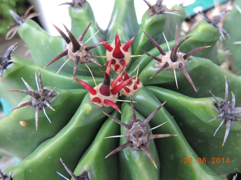 Cacti and Sukkulent in Köln, every day new flowers in the greenhouse Part 101 Bild_839