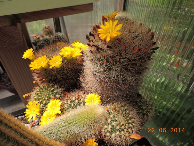 Cacti and Sukkulent in Köln, every day new flowers in the greenhouse Part 101 Bild_842