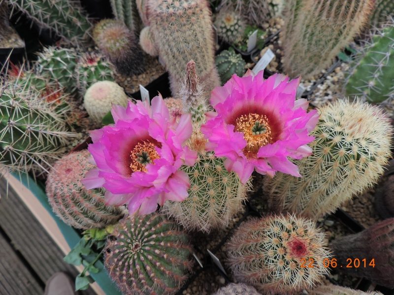 Cacti and Sukkulent in Köln, every day new flowers in the greenhouse Part 101 Bild_847