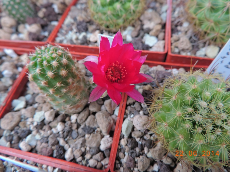 Cacti and Sukkulent in Köln, every day new flowers in the greenhouse Part 101 Bild_851