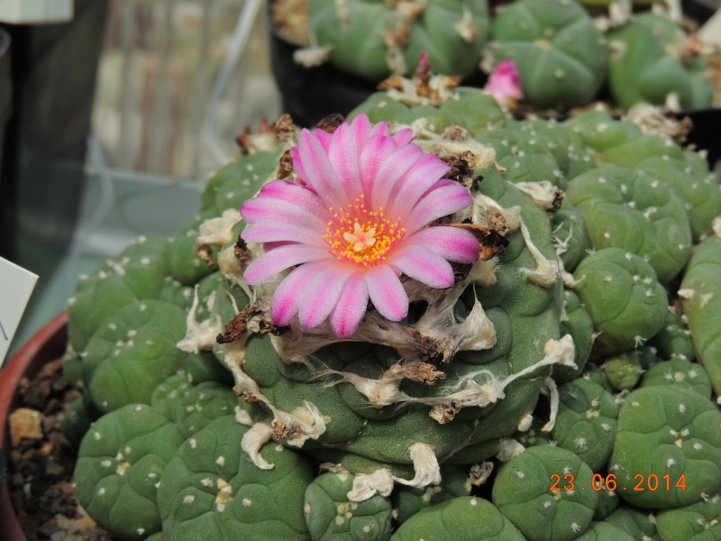 Cacti and Sukkulent in Köln, every day new flowers in the greenhouse Part 101 Bild_856