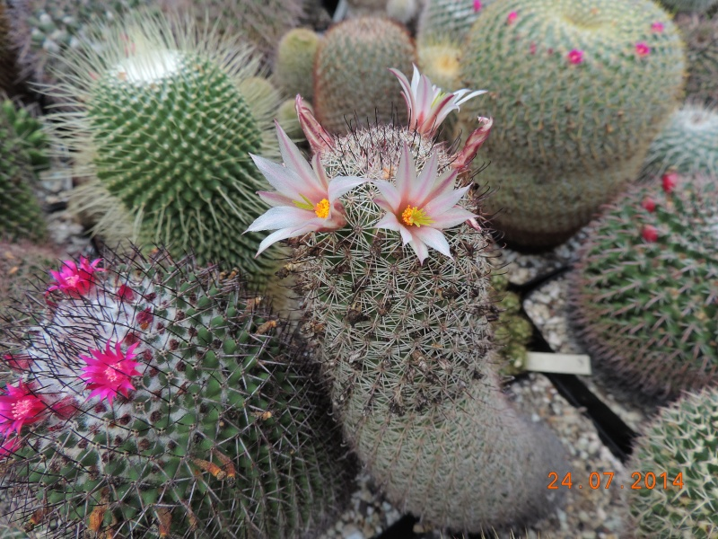 Cacti and Sukkulent in Köln, every day new flowers in the greenhouse Part 102 Bild_863